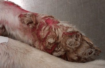 Paw Fissure Caused by Zinc-Responsive Dermatosis