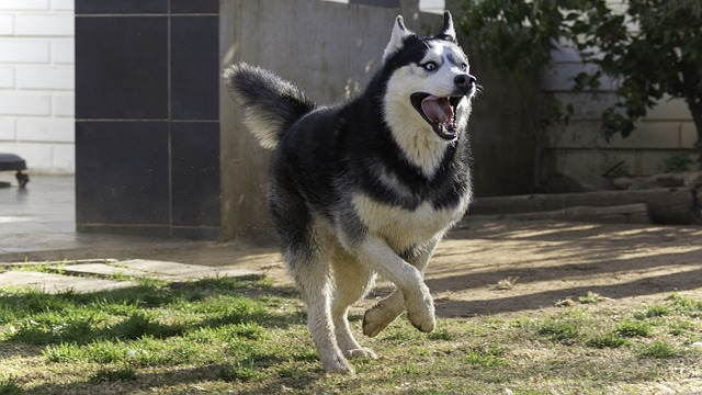 Smiling Husky Running