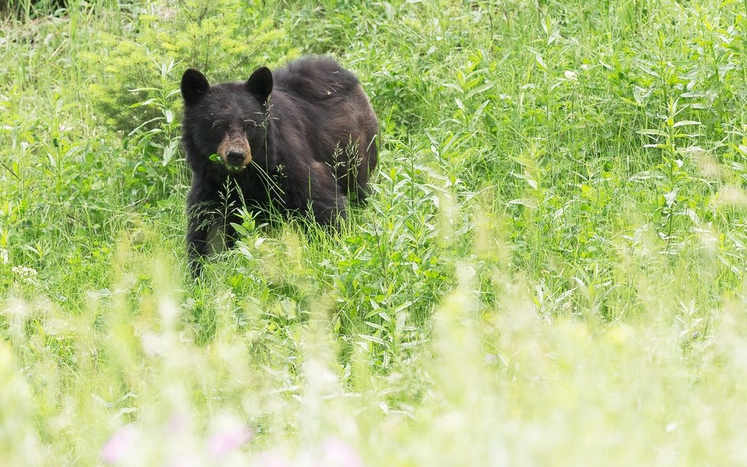Dog 'herds' 400 lbs. black bear off Adams County farm