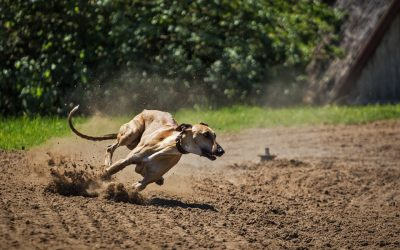 What will happen to Florida's greyhounds after dog racing ban?
